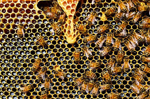 Ученые: Европе необходимо спасать своих пчел. 378952.jpeg