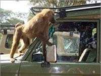 Бабуины атакуют британских автомобилистов