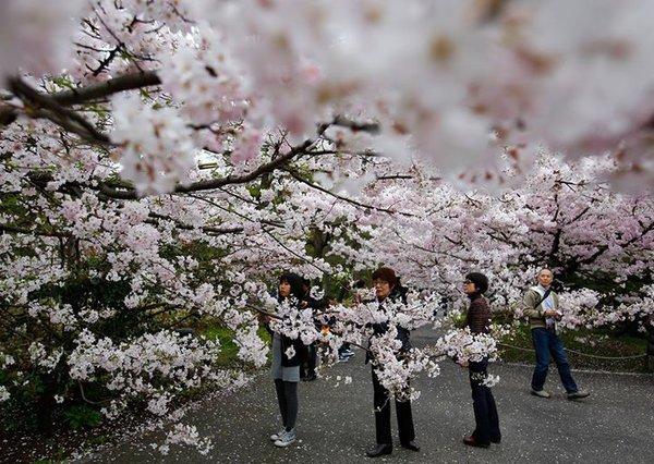 Ханами - время размышлений и цветения сакуры. Ханами, Япония