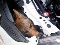 Койот спрятался от смерти под капотом автомобиля