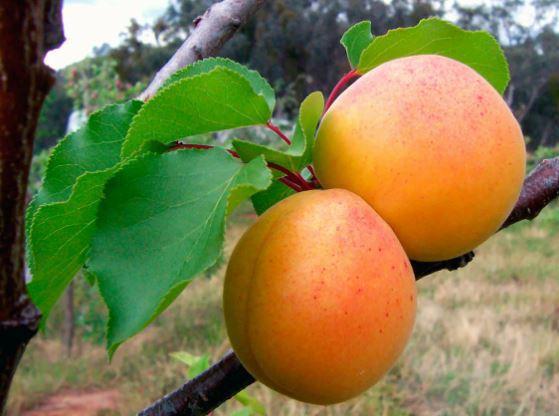 Лекарства с грядки: Азбука здоровья. абрикос