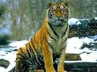 В Приморье на автотрассе серьезно пострадал тигр