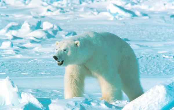 Российская армия спасла в Арктике голодного медвежонка. 299977.jpeg