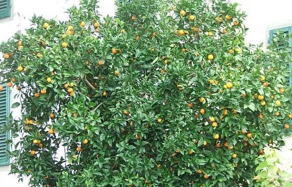 Апельсины можно выращивать и на Ставрополье - эксперт. апельсины