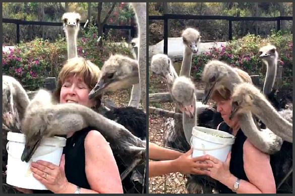 На птицеферме в ЮАР прожорливые страусы чуть не заклевали турист