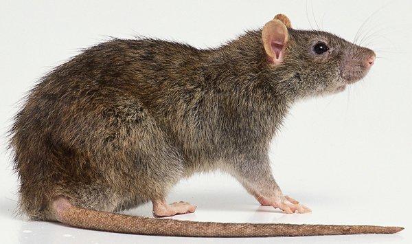Крысы - предвестники чумы или спасители?. крыса