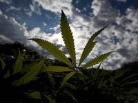 Врачи Израиля будут лечить детей марихуаной. 275984.jpeg
