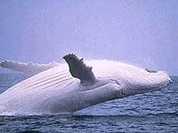 Самый известный в мире белый кит обзавелся подругой