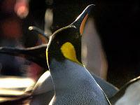 пингвина. 257991.jpeg