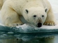 медведь. 245993.jpeg