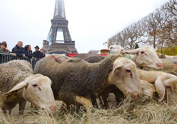 В Париже у Эйфелевой башни протестуют фермеры и овцы. 304993.jpeg