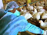 Так ли страшен птичий грипп?
