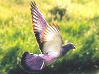 Жителей Копенгагена напугали малиновые голуби. 264999.jpeg