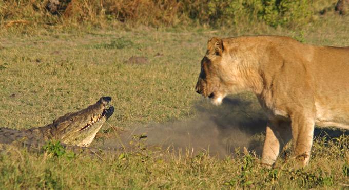 По закону джунглей, или Битва львов и крокодилов