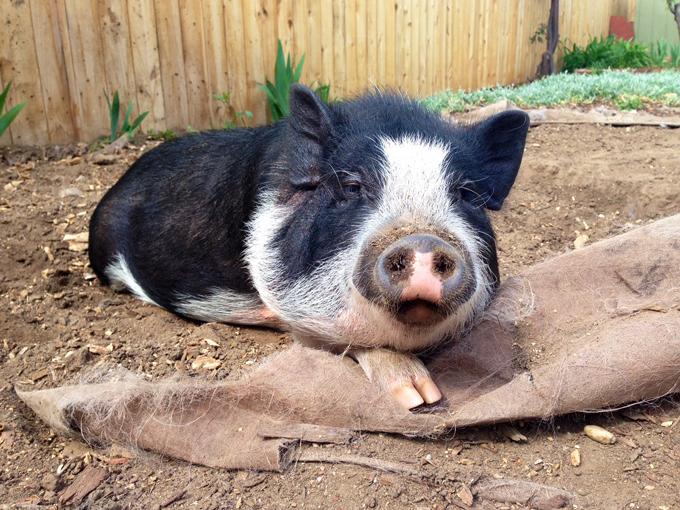Свинья, которая мечтает стать собакой