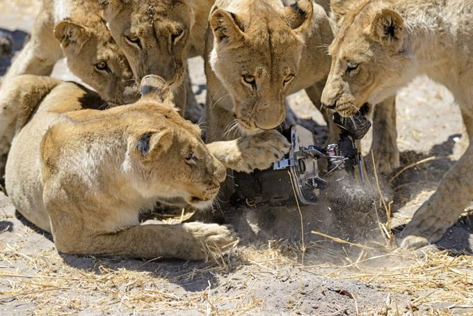 Львиный прайд обзавелся гаджетом