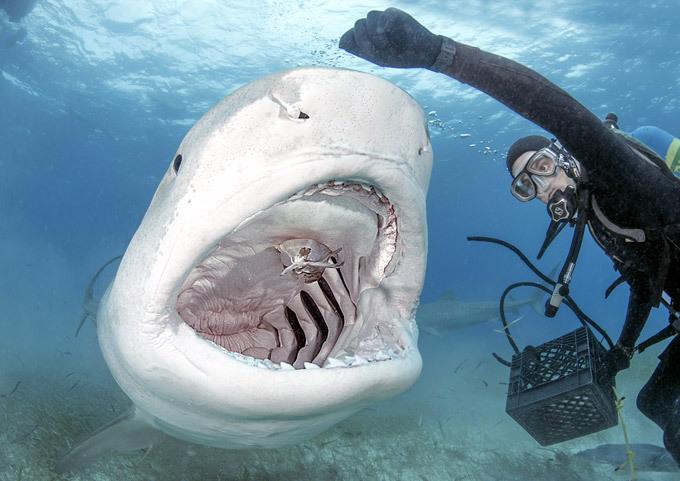 Остаться в живых, покормив тигровую акулу