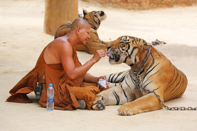 Разве это тигры? Просто ласковые котята