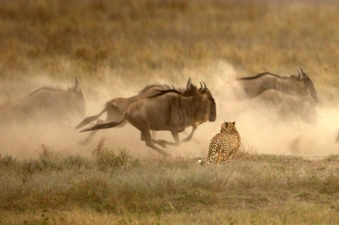 Гепарды с сошкой, а гиены - с ложкой