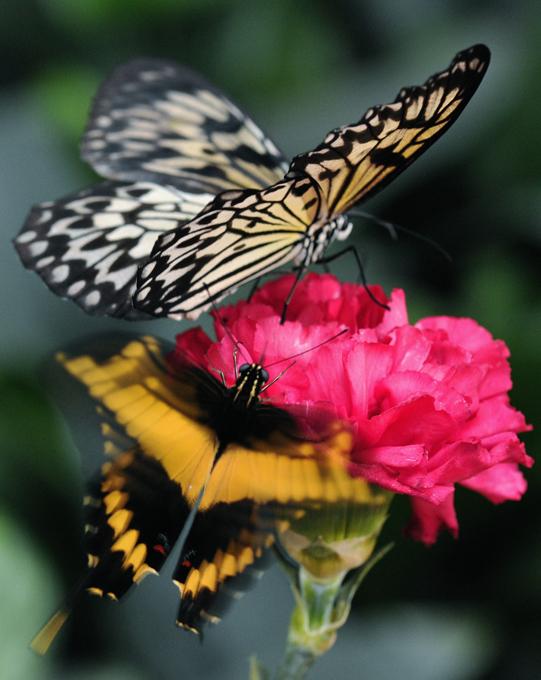 Чарующая красота бабочек