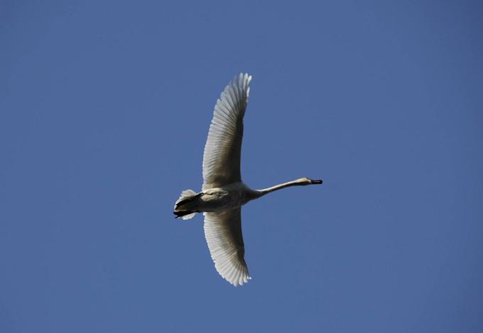 Воздушный бой в мирном небе. Лебедь