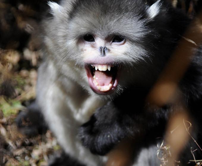Курносая обезьяна. Самые необычные животные планеты