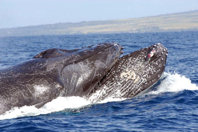 Поющий кит