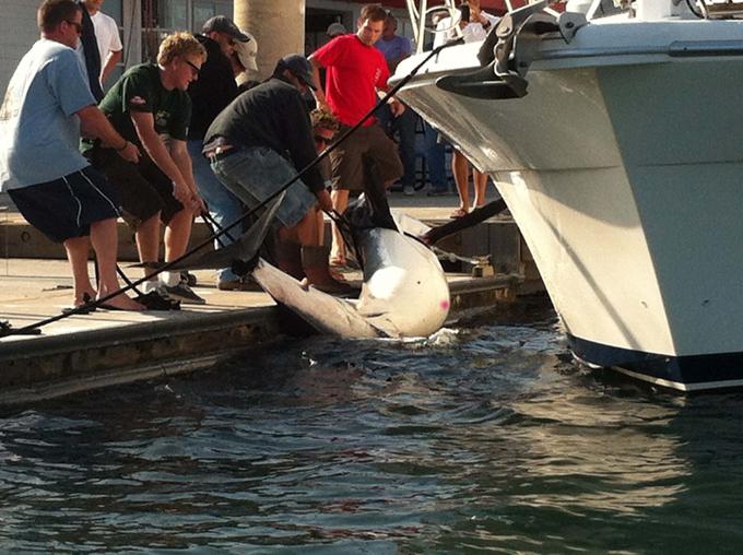 350-килограммов на крючке рыбака