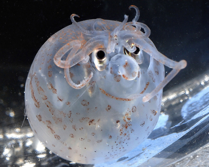 Морские черти и клоуны: кальмар-поросенок