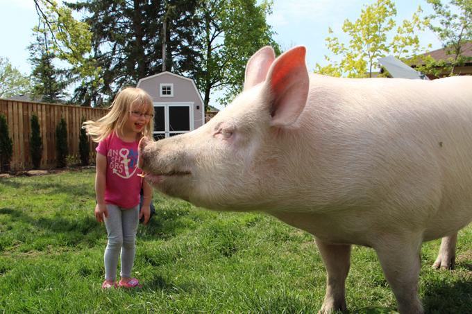 Животные страсти-мордасти: свинья-гигант