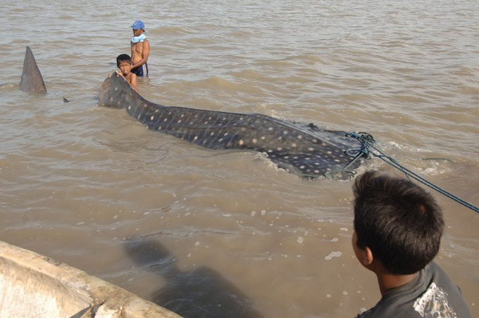 Акула-монстр попалась в сети индонезийских рыбаков