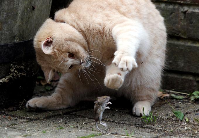 Как мыши с котом воевали. Сказка