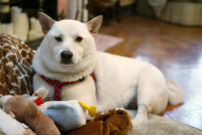 Собака, которая родилась в рубашке