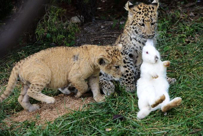 Кролик против детенышей хищников