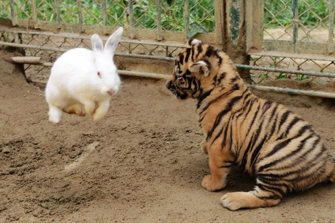 кролик и тигр картинка