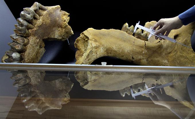 В Болгарии найден гигантский слон возрастом 18,5 млн лет