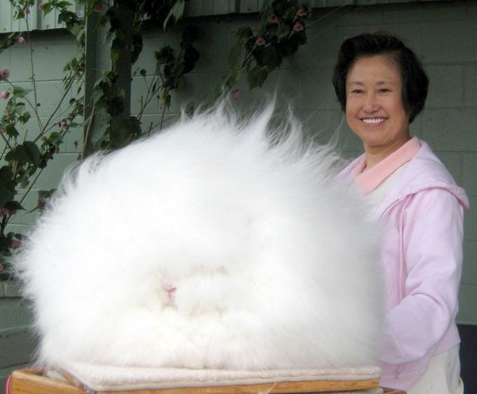 """Животные с """"повышенной лохматостью"""": ангорский кролик"""