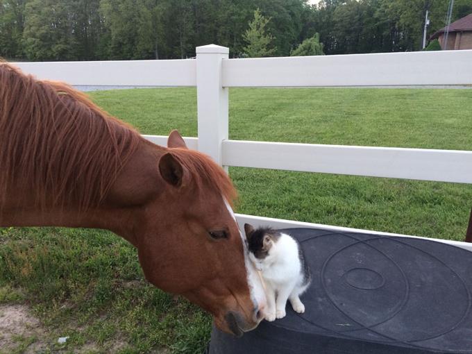 Трогательная дружба - кот и лошадь