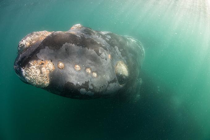 Уникальные съемки белого кита с детенышем