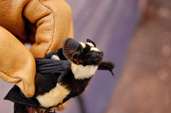 Ученые обнаружили уникальную летучую мышь