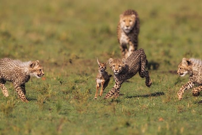 Зоологи впервые измерили скорость гепардов в дикой природе