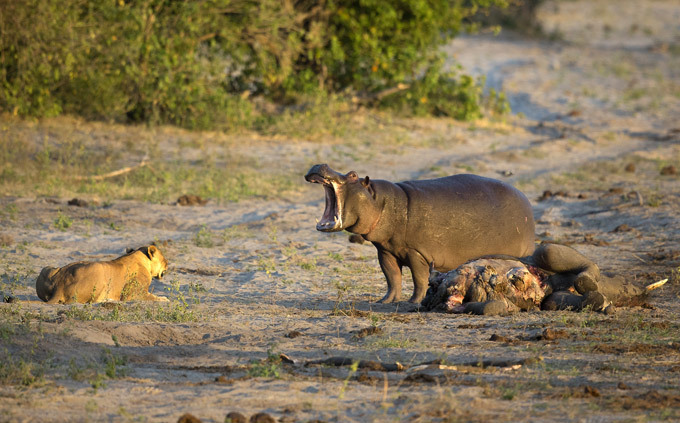 Зооистории: Как дохлого слона делили