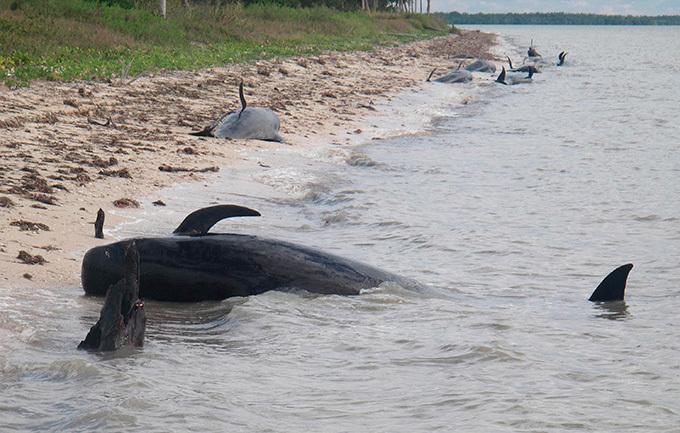 Во Флориде  дельфины  совершили массовое самоубийство