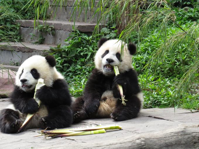 Панда - очаровательное дитя природы