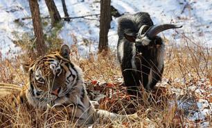 Козла Обаму подружат с тигром Амуром