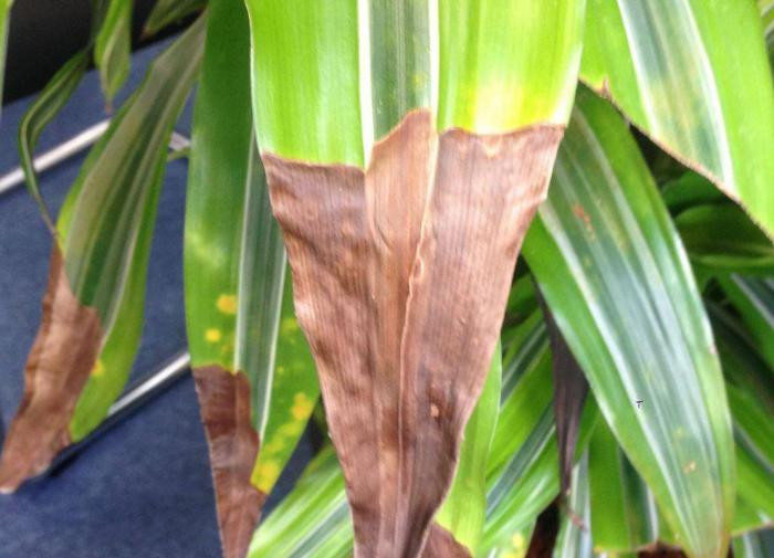 Почему у комнатных растений сохнут кончики листьев?