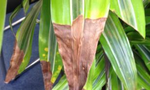 Почему у комнатных растений сохнут кончики листьев