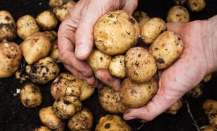 Молодую картошку можно вырастить и в октябре