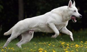 В Японии инженеры разработали дистанционную систему управления собакой