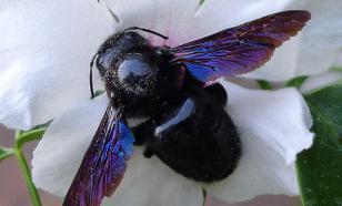 Жители Новосибирска напуганы нашествием огромных синих пчел